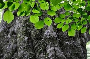 ブナの木の写真素材 [FYI02983232]
