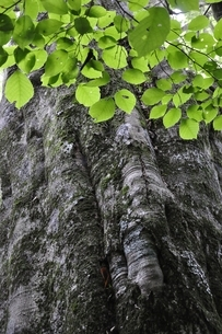ブナの木の写真素材 [FYI02983233]