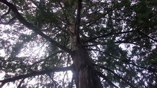 木を見上げるの写真素材 [FYI02983335]