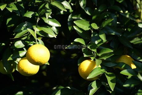柑橘類フルーツのイメージの写真素材 [FYI02983399]
