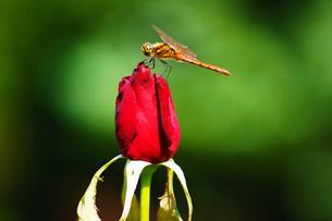 古河庭園の薔薇の写真素材 [FYI02983417]