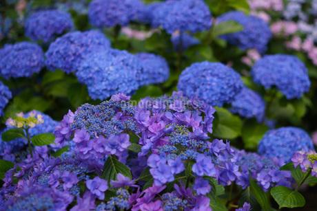 鎌倉・長谷寺の紫陽花の写真素材 [FYI02983421]
