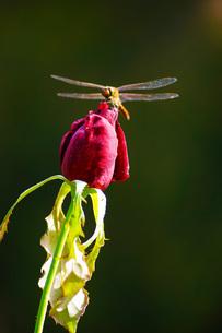 古河庭園の薔薇の写真素材 [FYI02983434]