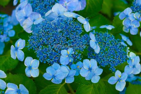 紫陽花イメージの写真素材 [FYI02983458]