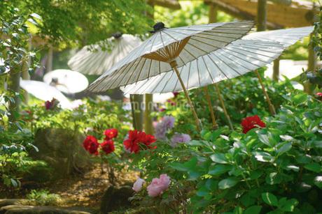 和傘・牡丹がある風景の写真素材 [FYI02983490]