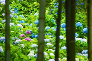 竹林と紫陽花の写真素材 [FYI02983510]