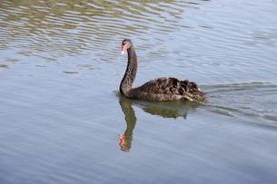 サンパウロの公園に棲息する黒鳥の写真素材 [FYI02983631]
