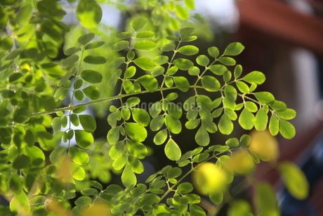 ブラジルで栽培されているモリンガの写真素材 [FYI02983633]