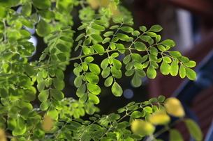 ブラジルで栽培されているモリンガの写真素材 [FYI02983640]