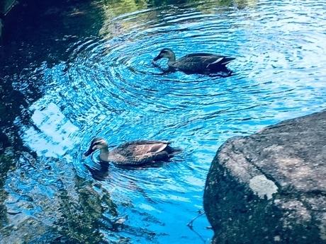 仲良く泳ぐかわいいカモの写真素材 [FYI02983658]
