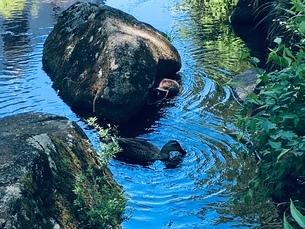 食べることに夢中 2羽のカモの写真素材 [FYI02983662]