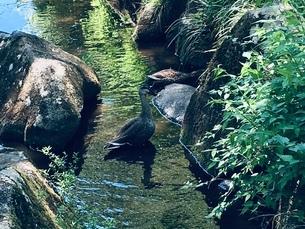長い首のカモが一羽 奥にも一羽いますの写真素材 [FYI02983665]