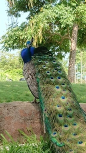 Peacockの写真素材 [FYI02983691]