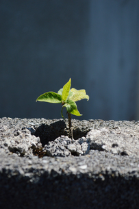 ブロック塀に生える小さな植物の写真素材 [FYI02983718]