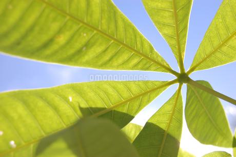 放射状に広がる葉を下から見上げるの写真素材 [FYI02983744]