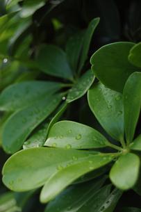 水滴が残る南国の植物の写真素材 [FYI02983755]