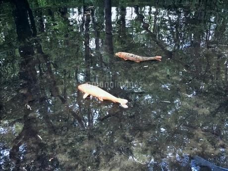 透き通る池で悠然と泳ぐコイ 雨上がりの午後の写真素材 [FYI02983802]