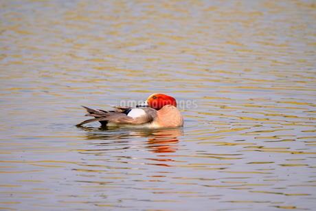 池で泳ぐヒドリガモ(一羽)の写真素材 [FYI02983858]