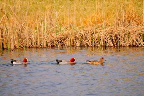 池を群れで泳ぐヒドリガモの写真素材 [FYI02983865]