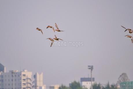 街を背景に飛ぶカモの群れの写真素材 [FYI02983881]