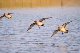 池を低空飛行するヒドリガモの写真素材 [FYI02983887]
