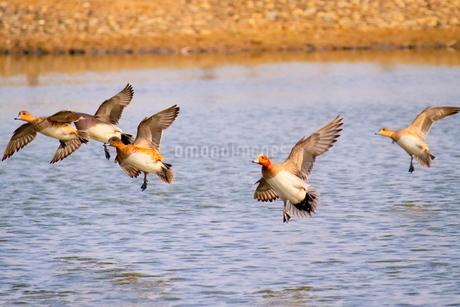 池を低空飛行するヒドリガモの写真素材 [FYI02983892]