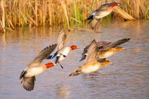池を低空飛行するヒドリガモの写真素材 [FYI02983895]