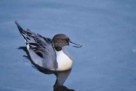 川面に浮かぶオナガガモ(雄)の写真素材 [FYI02983897]