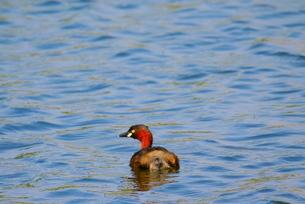 池で泳ぐカイツブリの写真素材 [FYI02983898]