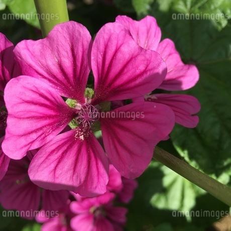 色鮮やかな花 5月の陽ざしの中での写真素材 [FYI02983919]