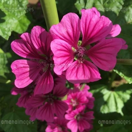 色鮮やかな花 5月の陽ざしの中での写真素材 [FYI02983920]