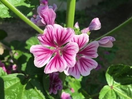 色鮮やかな花 5月の陽ざしの中での写真素材 [FYI02983921]
