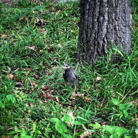 野鳥が何かくわえています。の写真素材 [FYI02983924]