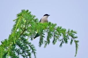 青空の下の木の枝に止るオナガの写真素材 [FYI02984000]
