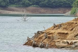 湖に現れた枯れ木の写真素材 [FYI02984072]