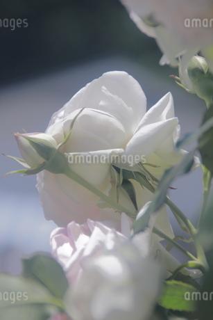 薔薇と蕾の写真素材 [FYI02984110]