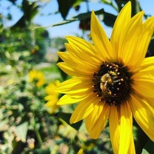 ひまわりとミツバチの写真素材 [FYI02984164]