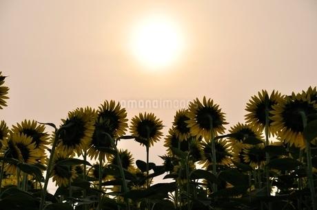 ヒマワリと太陽の写真素材 [FYI02984169]