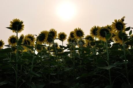 ヒマワリと太陽の写真素材 [FYI02984170]