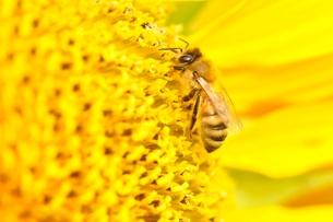 ひまわりと蜂の写真素材 [FYI02984183]