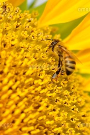 ひまわりと蜂の写真素材 [FYI02984185]