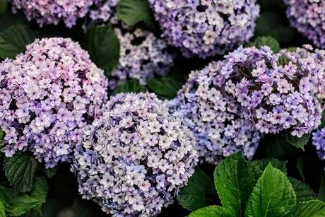 紫陽花の写真素材 [FYI02984202]