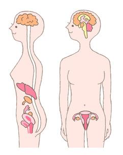 人体 女性ホルモンのイラスト素材 [FYI02984437]