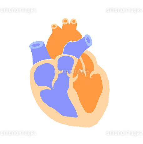 心臓 断面図のイラスト素材 [FYI02984441]