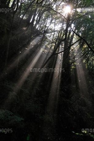 森の木洩れ日の写真素材 [FYI02984482]