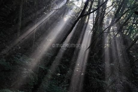 森の木洩れ日の写真素材 [FYI02984485]