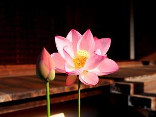 蓮の花~京都法金剛院の写真素材 [FYI02984486]