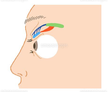 瞼のしくみのイラスト素材 [FYI02984507]
