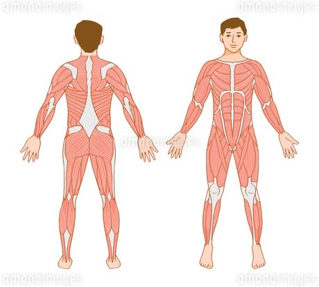 男性 筋肉標本のイラスト素材 [FYI02984521]