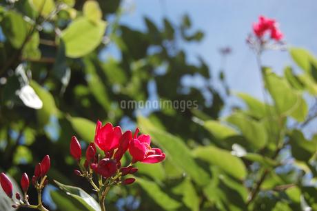 可愛い赤い花が咲いているの写真素材 [FYI02984549]